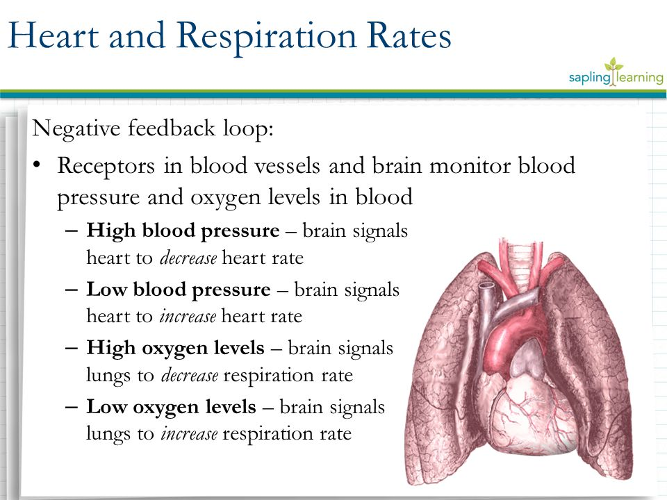 Negative feedback loop: Receptors in blood vessels and brain monitor blood pressure and oxygen levels in blood – High blood pressure – brain signals h