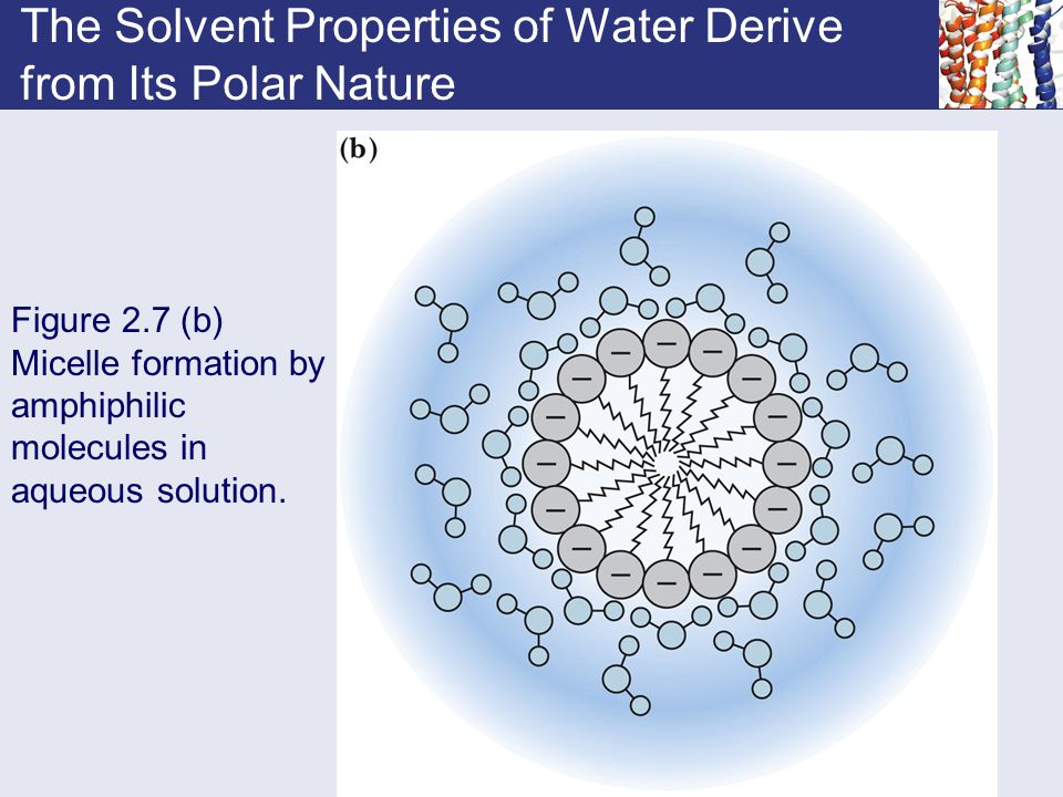 The Solvent Properties of Water Derive from Its Polar Nature Figure 2.7 (b) Micelle formation by amphiphilic molecules in aqueous solution.