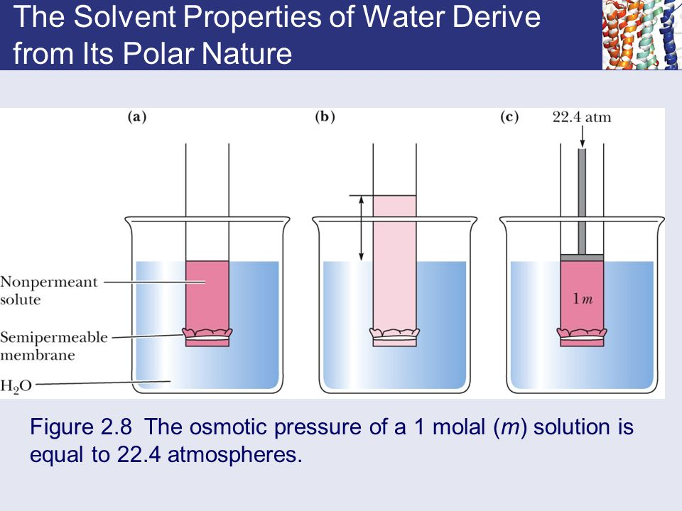 The Solvent Properties of Water Derive from Its Polar Nature Figure 2.8 The osmotic pressure of a 1 molal (m) solution is equal to 22.4 atmospheres.