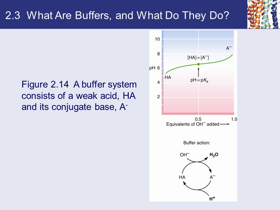2.3 What Are Buffers, and What Do They Do? Figure 2.14 A buffer system consists of a weak acid, HA and its conjugate base, A -