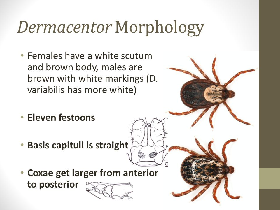 Dermacentor Morphology Females have a white scutum and brown body, males are brown with white markings (D. variabilis has more white) Eleven festoons