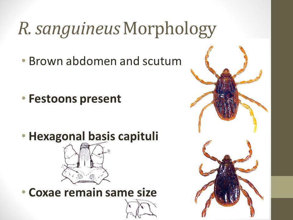 R. sanguineus Morphology Brown abdomen and scutum Festoons present Hexagonal basis capituli Coxae remain same size