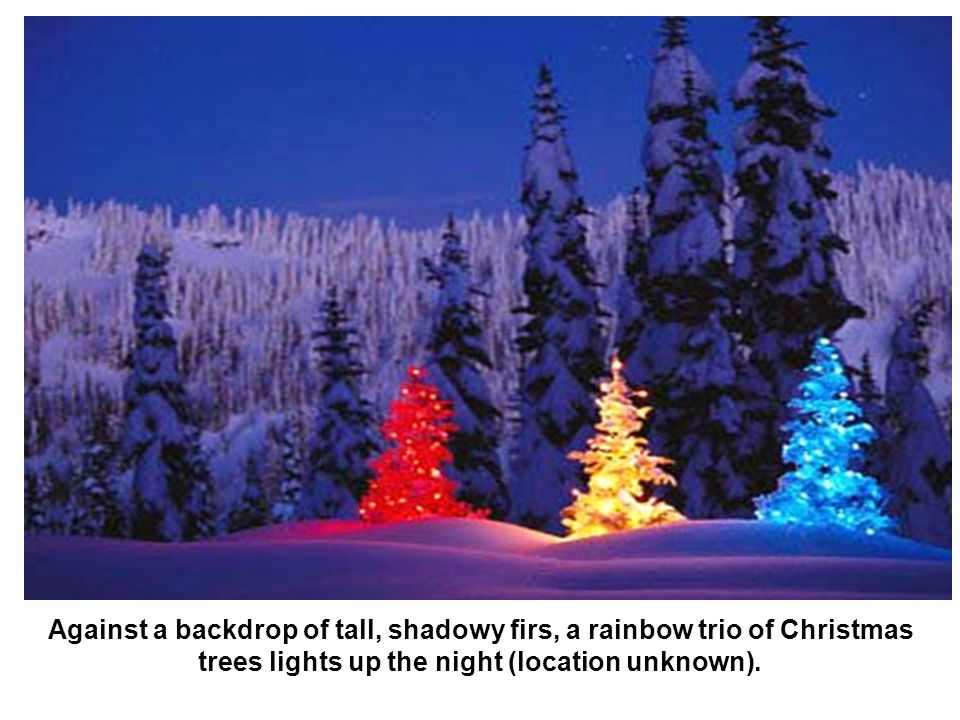Against a backdrop of tall, shadowy firs, a rainbow trio of Christmas trees lights up the night (location unknown).
