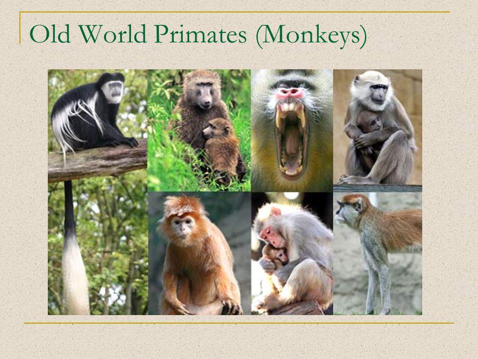 Old World Primates (Monkeys)