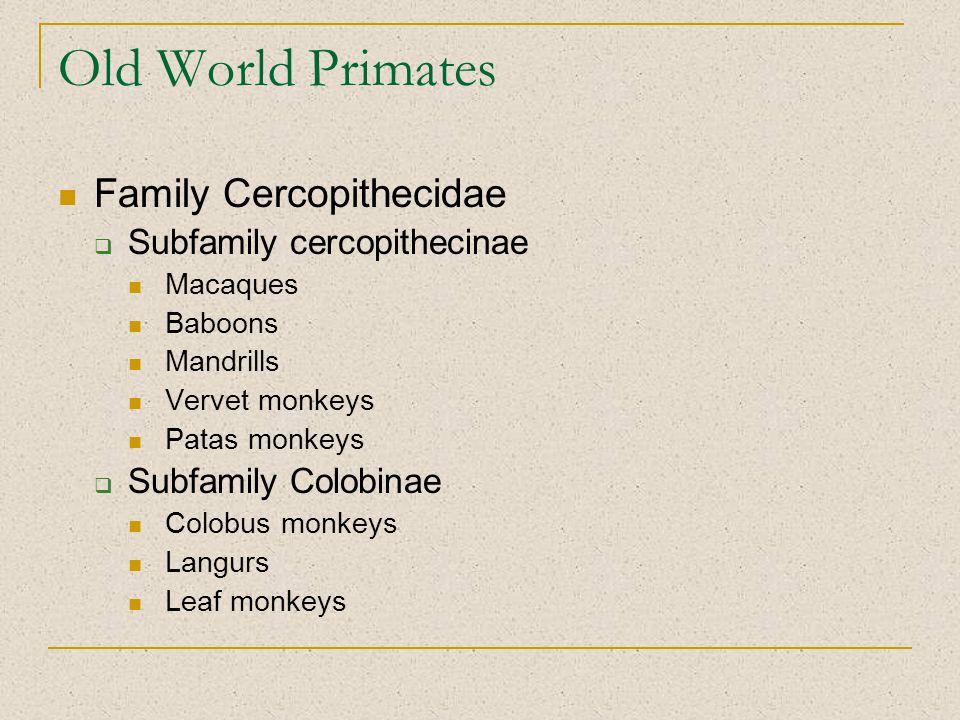 Old World Primates Family Cercopithecidae  Subfamily cercopithecinae Macaques Baboons Mandrills Vervet monkeys Patas monkeys  Subfamily Colobinae Co