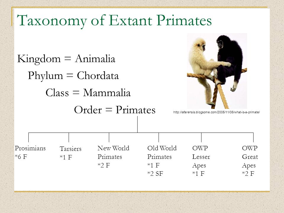 Taxonomy of Extant Primates Kingdom = Animalia Phylum = Chordata Class = Mammalia Order = Primates Prosimians *6 F Tarsiers *1 F New World Primates *2 F Old World Primates *1 F *2 SF OWP Lesser Apes *1 F OWP Great Apes *2 F http://afarensis.blogsome.com/2005/11/06/what-is-a-primate/