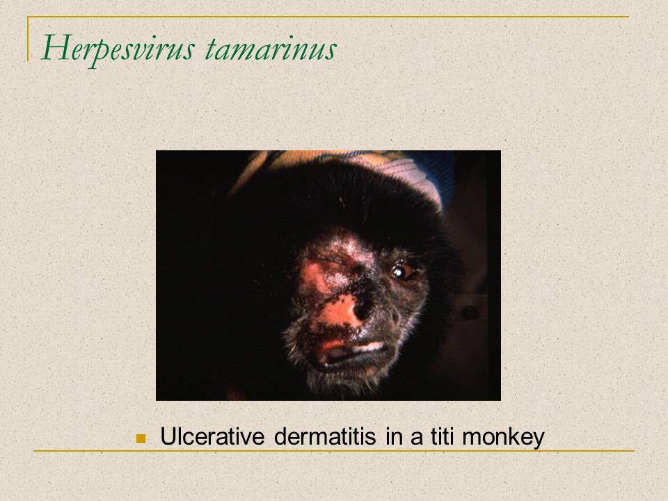Herpesvirus tamarinus Ulcerative dermatitis in a titi monkey