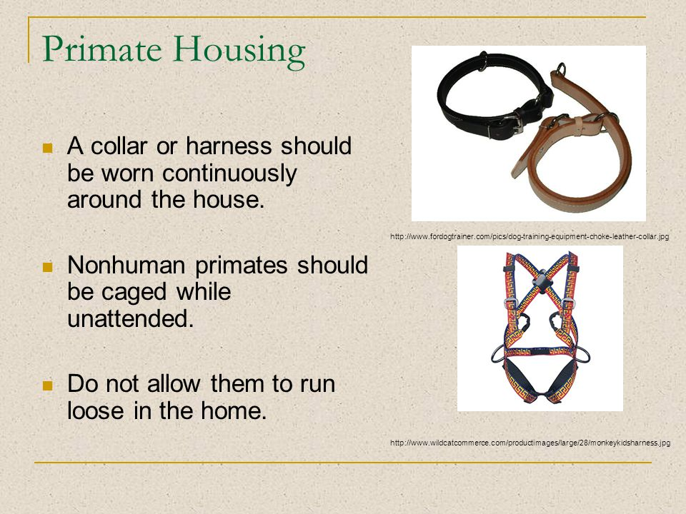 Primate Housing A collar or harness should be worn continuously around the house.