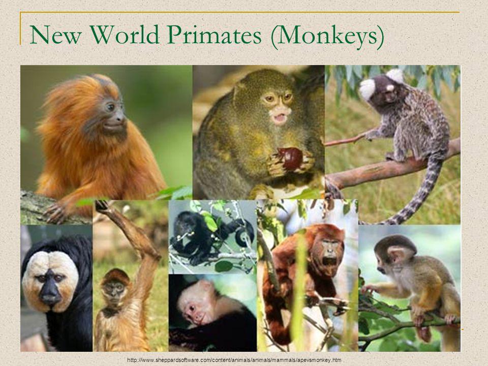 New World Primates (Monkeys) http://www.sheppardsoftware.com/content/animals/animals/mammals/apevsmonkey.htm