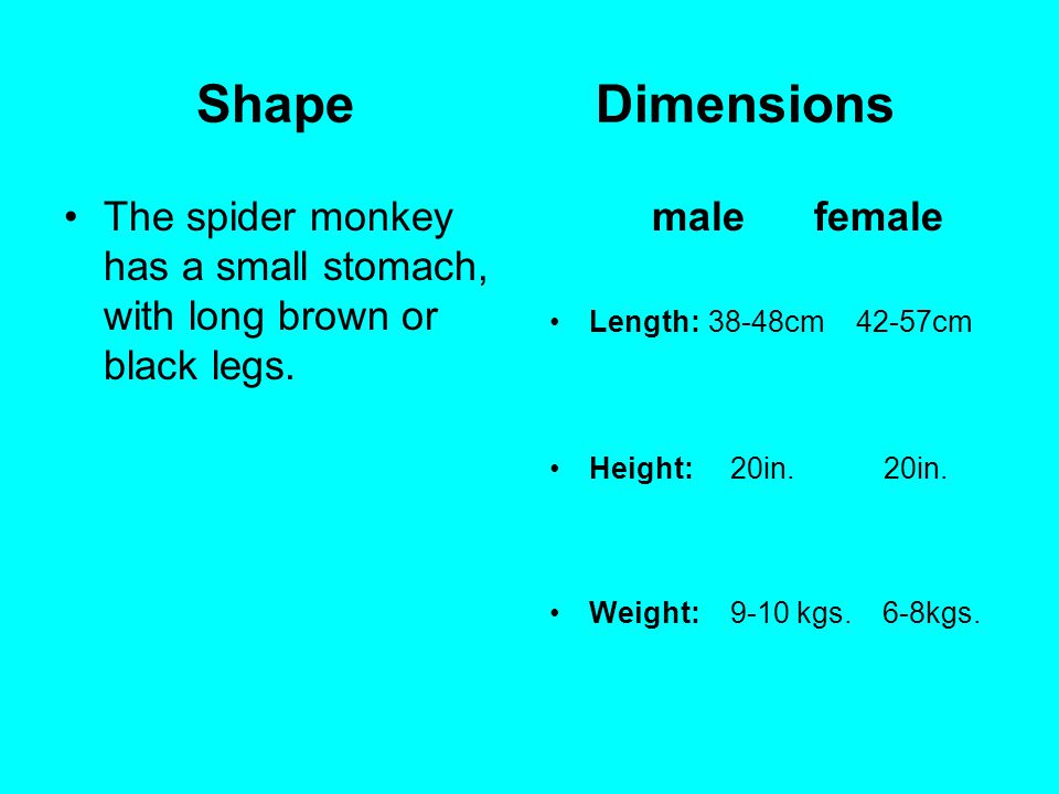 Shape Dimensions The spider monkey has a small stomach, with long brown or black legs. male female Length: 38-48cm 42-57cm Height: 20in. 20in. Weight:
