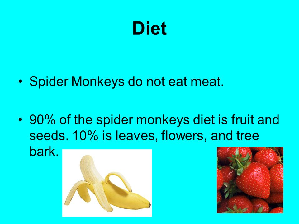 Diet Spider Monkeys do not eat meat. 90% of the spider monkeys diet is fruit and seeds. 10% is leaves, flowers, and tree bark.