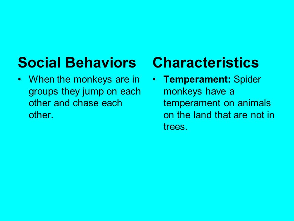 Social Behaviors When the monkeys are in groups they jump on each other and chase each other. Characteristics Temperament: Spider monkeys have a tempe