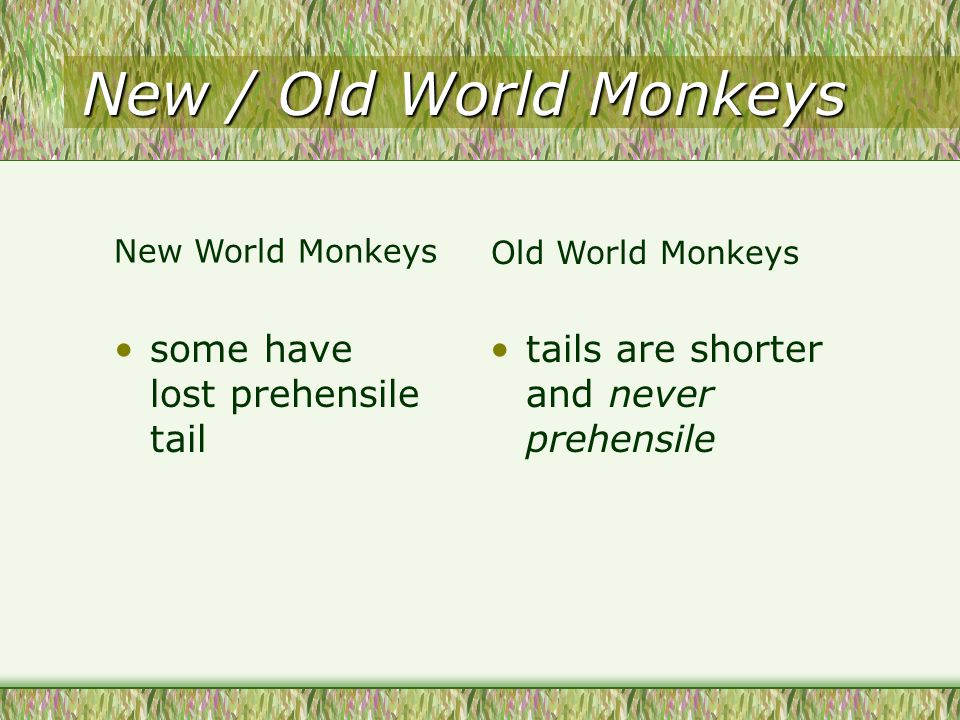 New / Old World Monkeys some have lost prehensile tail tails are shorter and never prehensile New World Monkeys Old World Monkeys