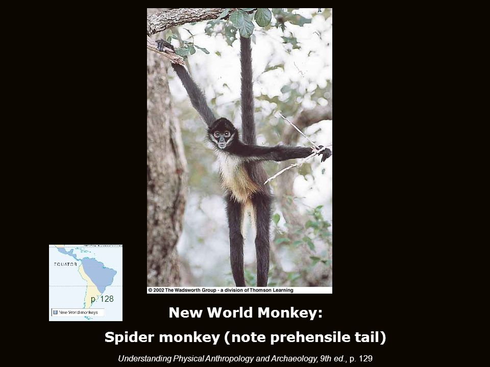 New World Monkey: Spider monkey (note prehensile tail) p.