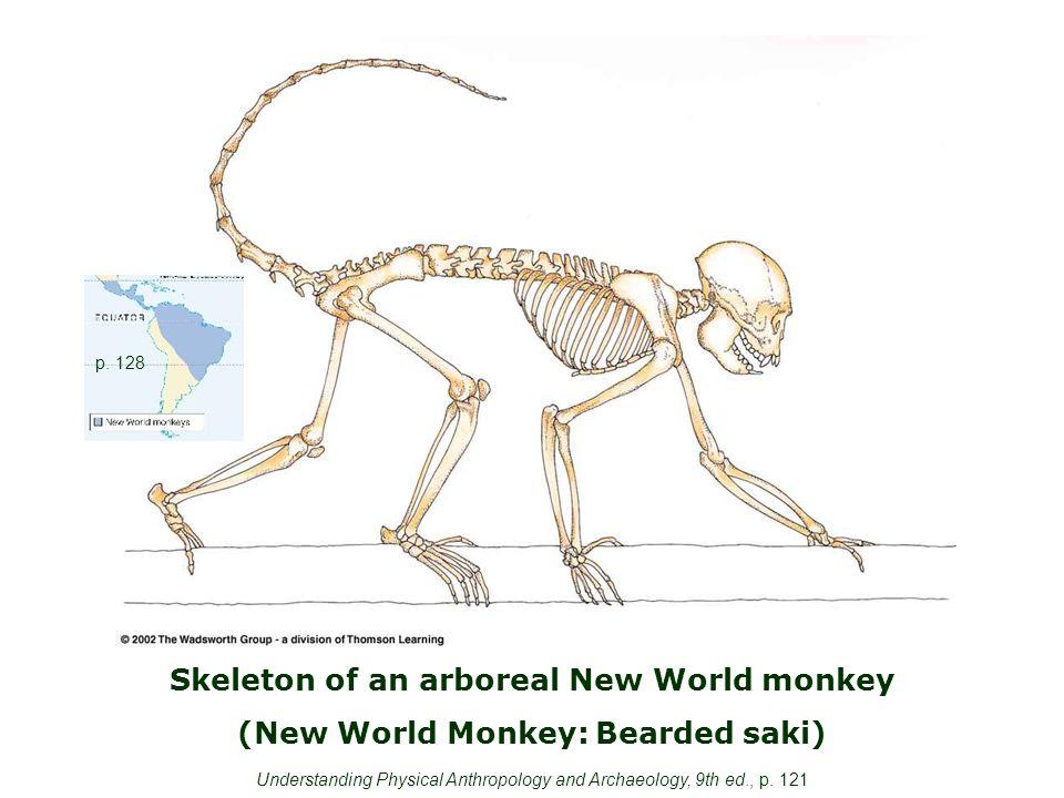 Skeleton of an arboreal New World monkey (New World Monkey: Bearded saki) p.