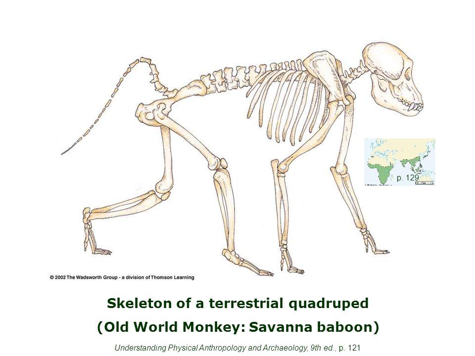 Skeleton of a terrestrial quadruped (Old World Monkey: Savanna baboon) p.