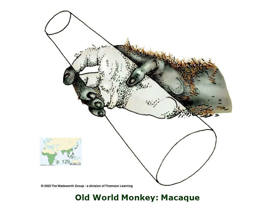 Old World Monkey: Macaque p. 129