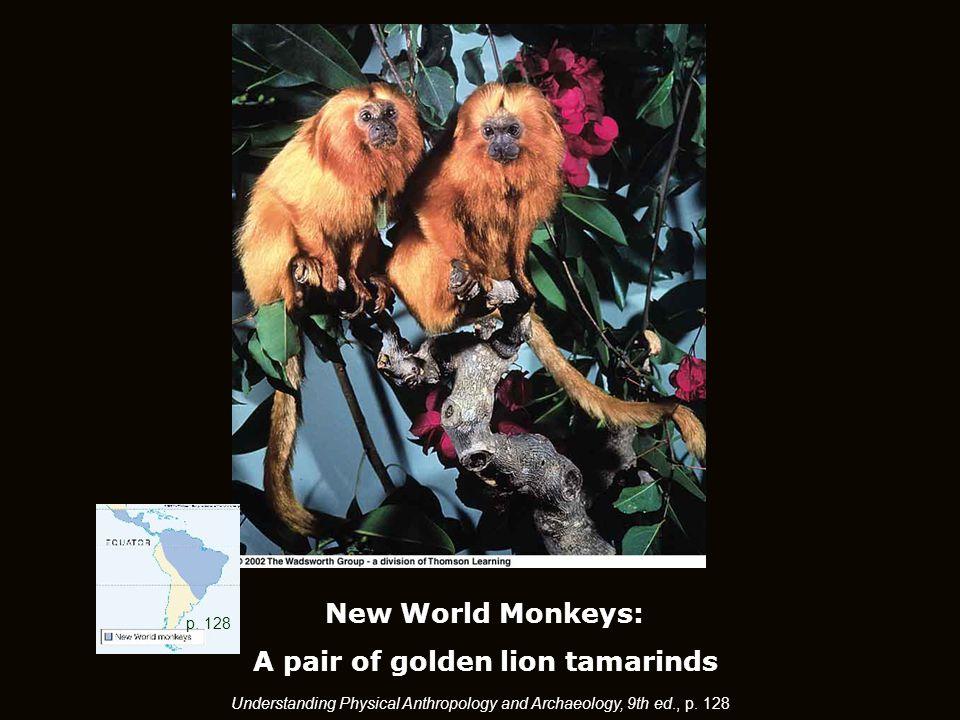 New World Monkeys: A pair of golden lion tamarinds p.