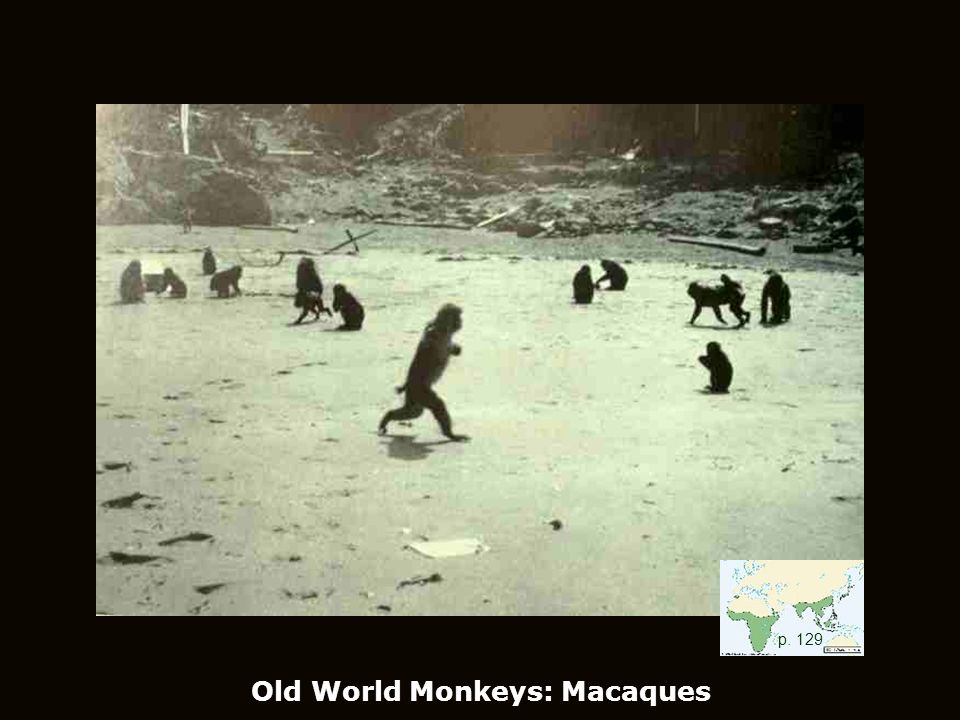 Old World Monkeys: Macaques p. 129