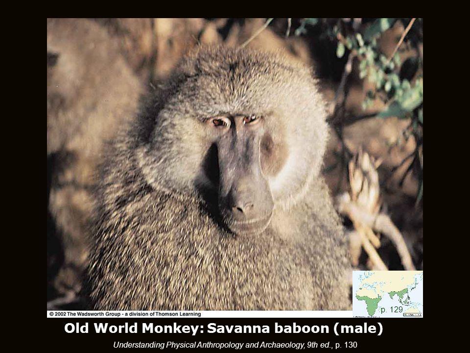 Old World Monkey: Savanna baboon (male) p.