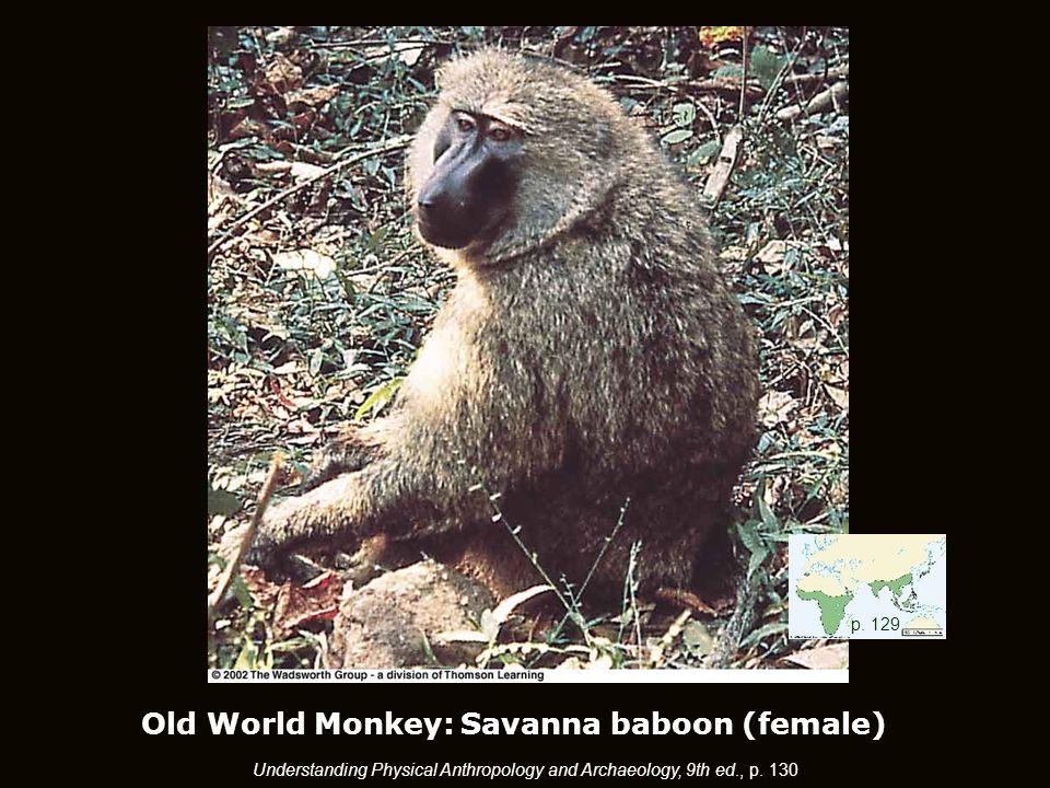 Old World Monkey: Savanna baboon (female) p.