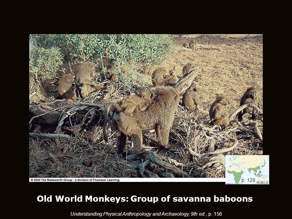 Old World Monkeys: Group of savanna baboons p.