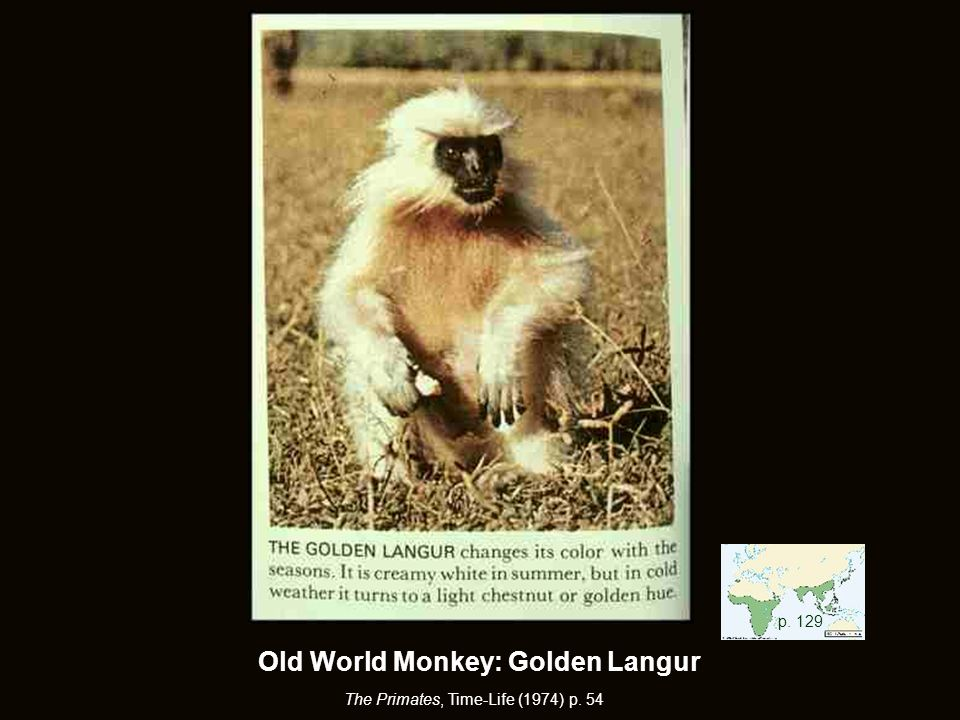 Old World Monkey: Golden Langur The Primates, Time-Life (1974) p. 54 p. 129
