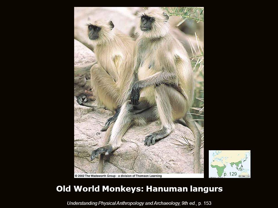 Old World Monkeys: Hanuman langurs p.