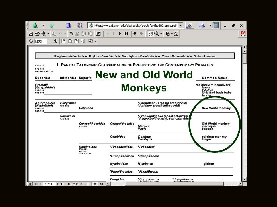 New and Old World Monkeys