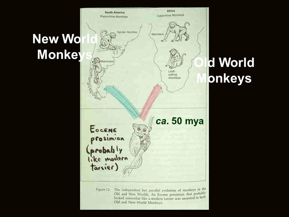 New World Monkeys Old World Monkeys ca. 50 mya