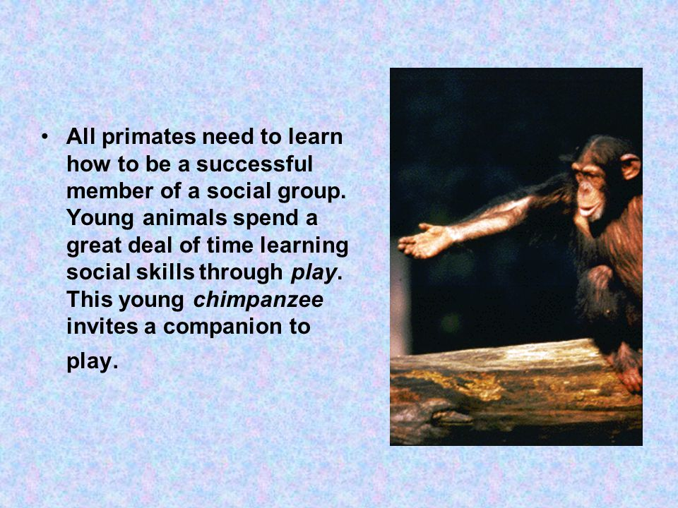 All primates need to learn how to be a successful member of a social group.