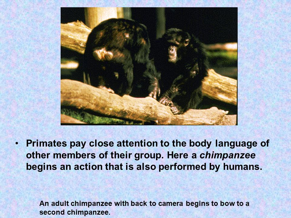 Primates pay close attention to the body language of other members of their group.