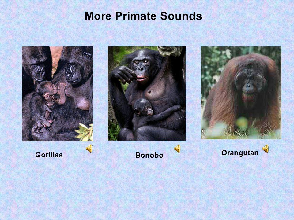 Gorillas More Primate Sounds Bonobo Orangutan