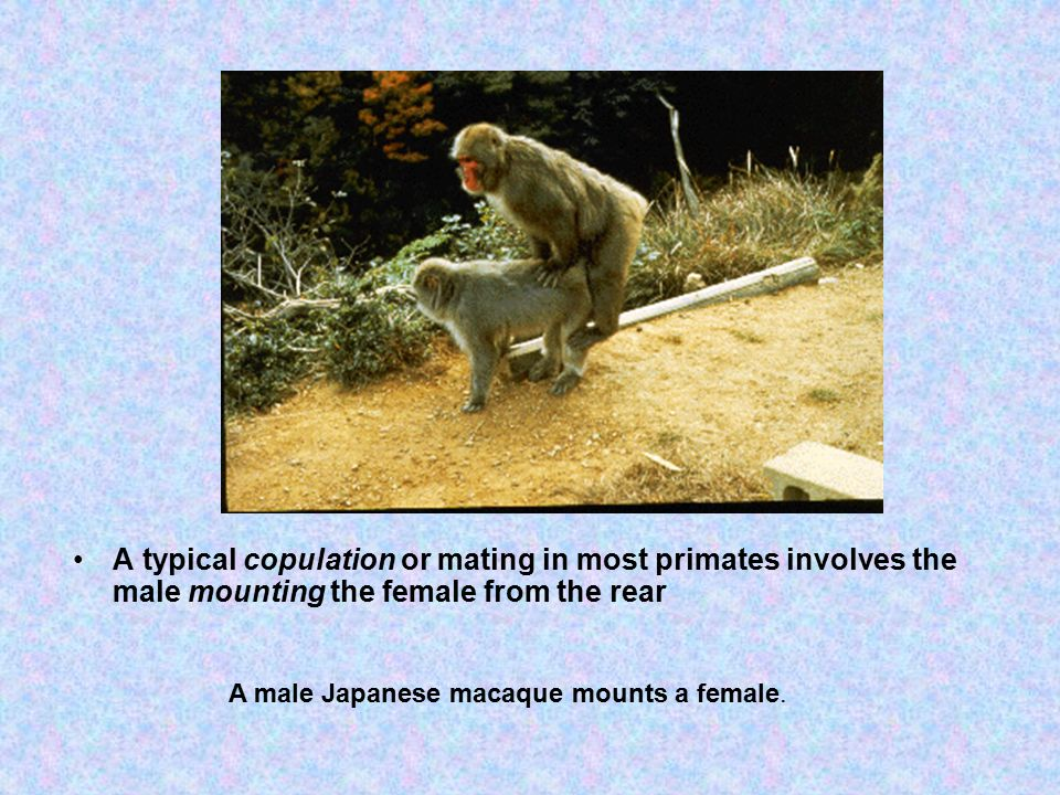 A typical copulation or mating in most primates involves the male mounting the female from the rear A male Japanese macaque mounts a female.