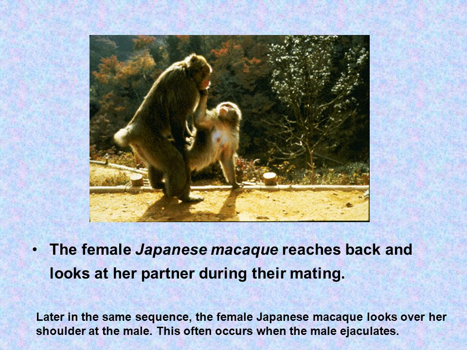 The female Japanese macaque reaches back and looks at her partner during their mating.