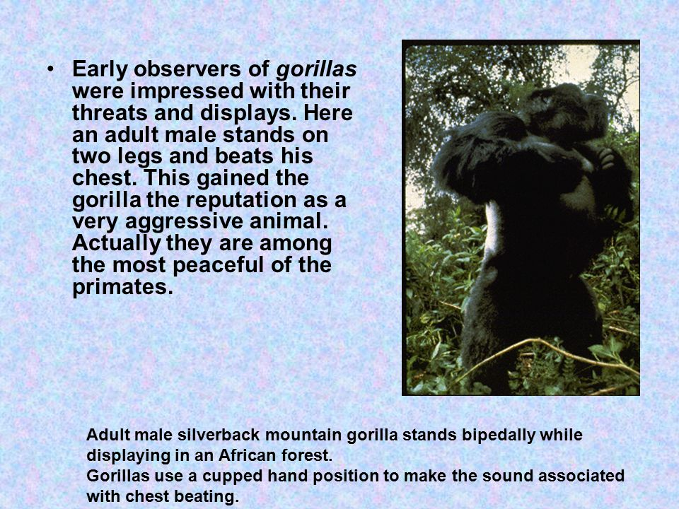 Early observers of gorillas were impressed with their threats and displays.