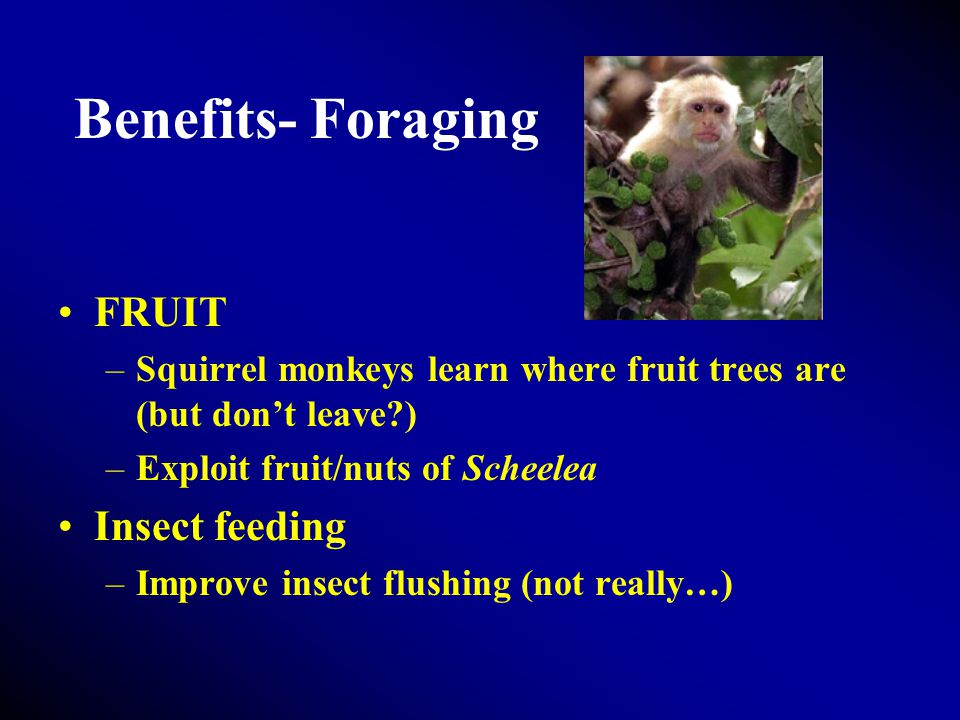 Benefits- Foraging FRUIT –Squirrel monkeys learn where fruit trees are (but don't leave ) –Exploit fruit/nuts of Scheelea Insect feeding –Improve insect flushing (not really…)