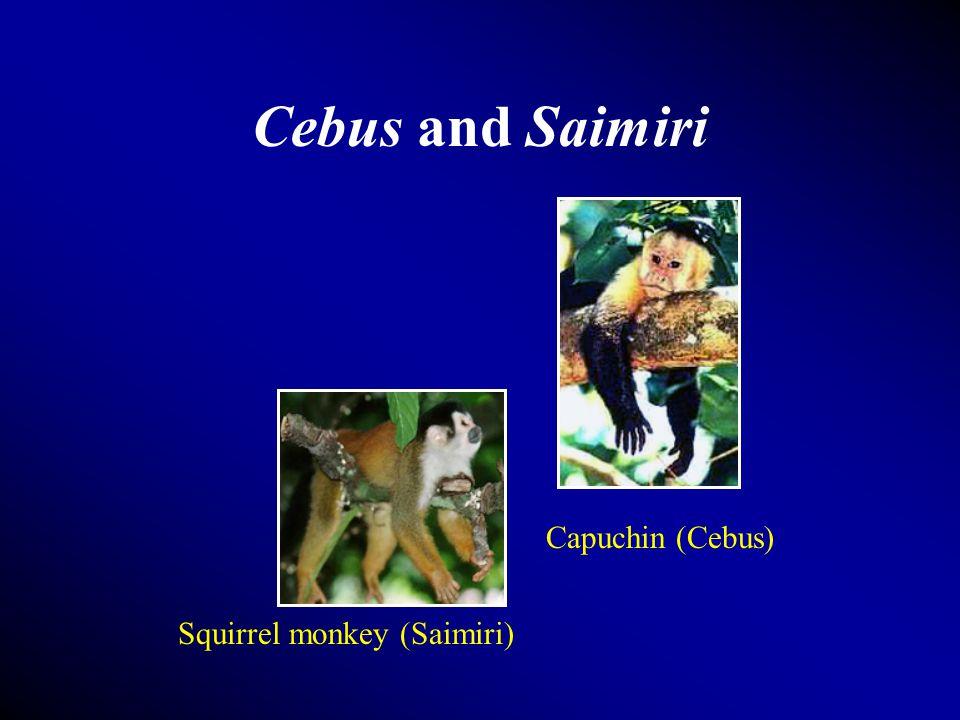 Cebus and Saimiri Capuchin (Cebus) Squirrel monkey (Saimiri)