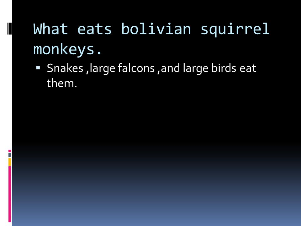 What do bolivian squirrel monkeys eat  They eat small creatures, seeds, and fruit.