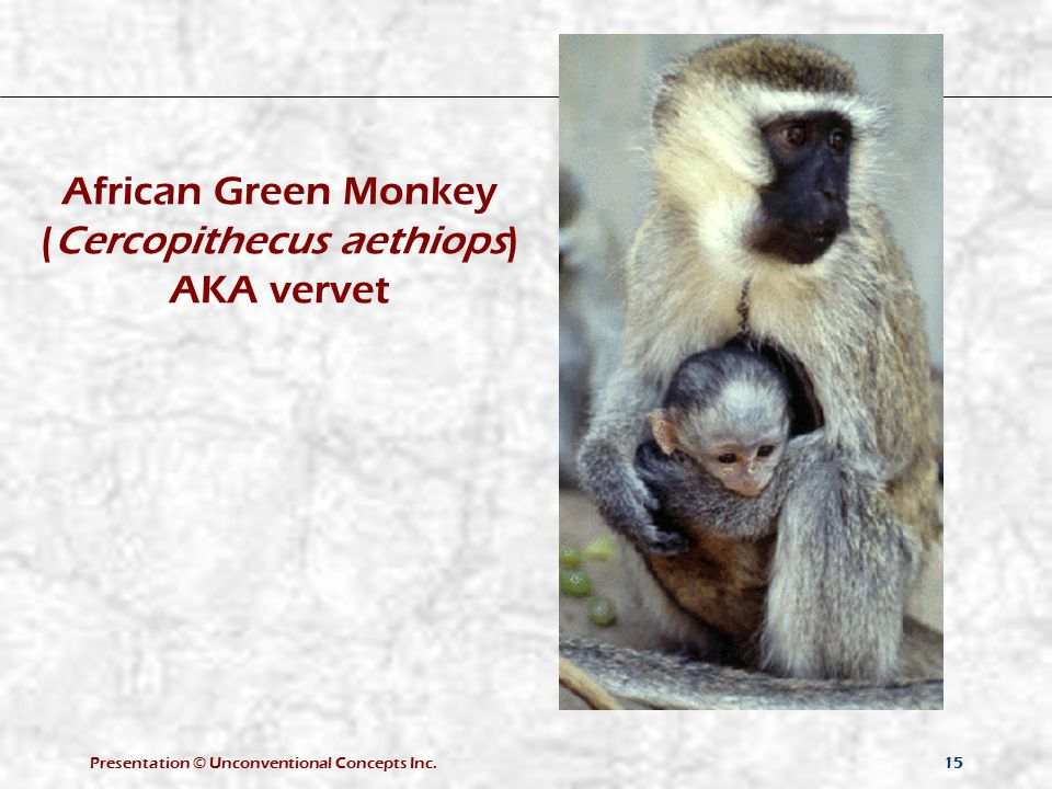 Presentation © Unconventional Concepts Inc.15 African Green Monkey (Cercopithecus aethiops) AKA vervet
