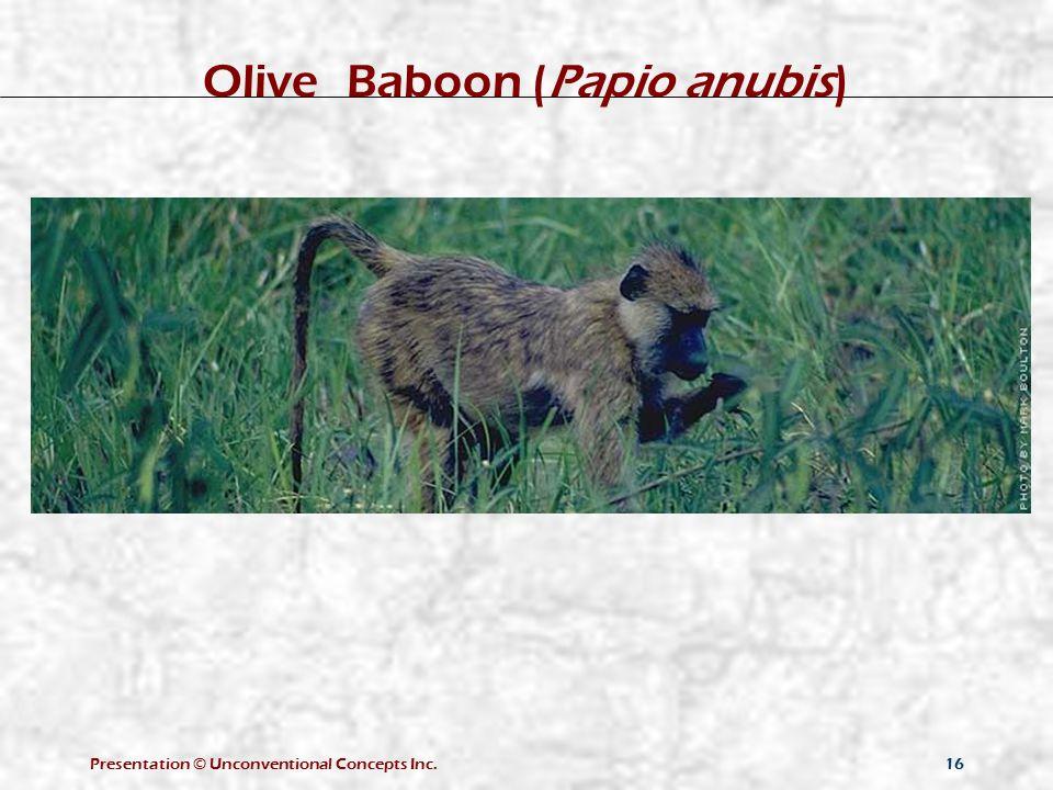 Presentation © Unconventional Concepts Inc.16 Olive Baboon (Papio anubis)