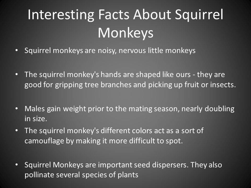 Interesting Facts About Squirrel Monkeys Squirrel monkeys are noisy, nervous little monkeys The squirrel monkey s hands are shaped like ours - they are good for gripping tree branches and picking up fruit or insects.