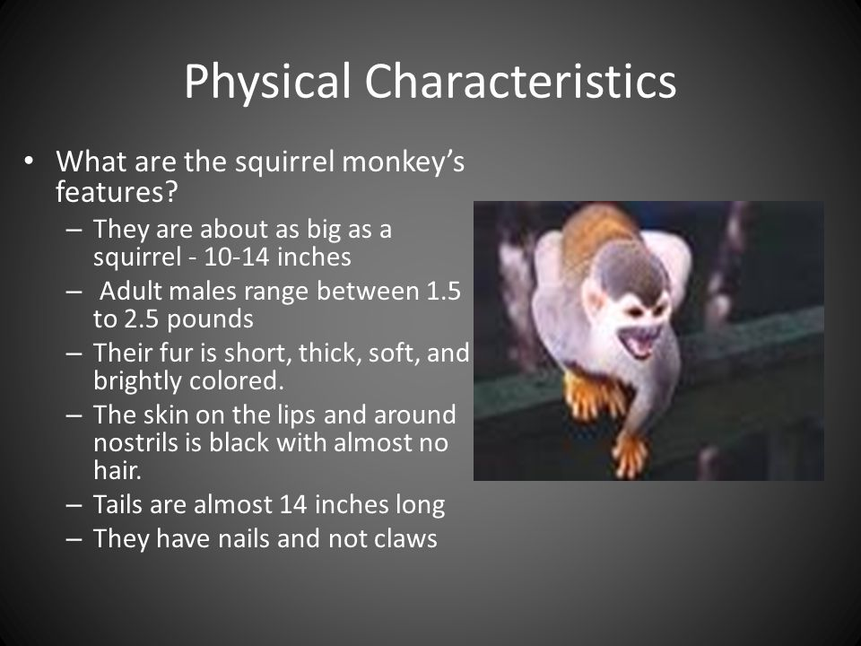 Physical Characteristics What are the squirrel monkey's features.