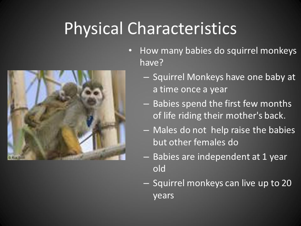 Physical Characteristics How many babies do squirrel monkeys have.