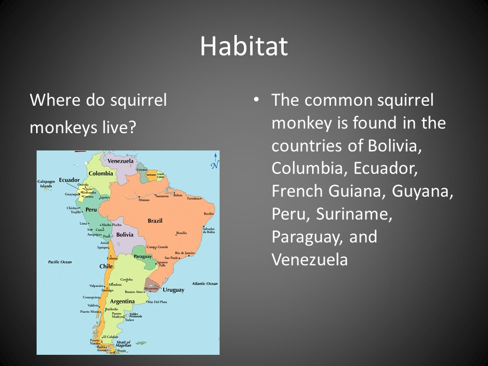 Habitat Where do squirrel monkeys live.