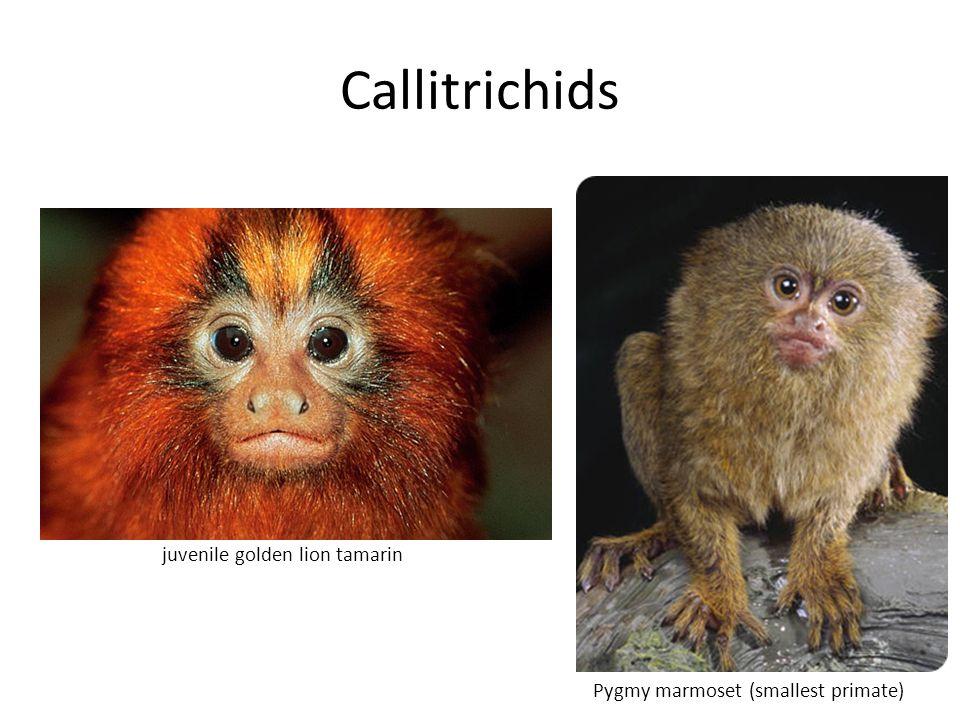 Callitrichids Pygmy marmoset (smallest primate) juvenile golden lion tamarin