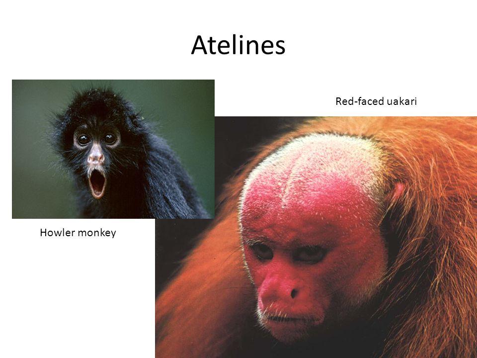 Atelines Howler monkey Red-faced uakari
