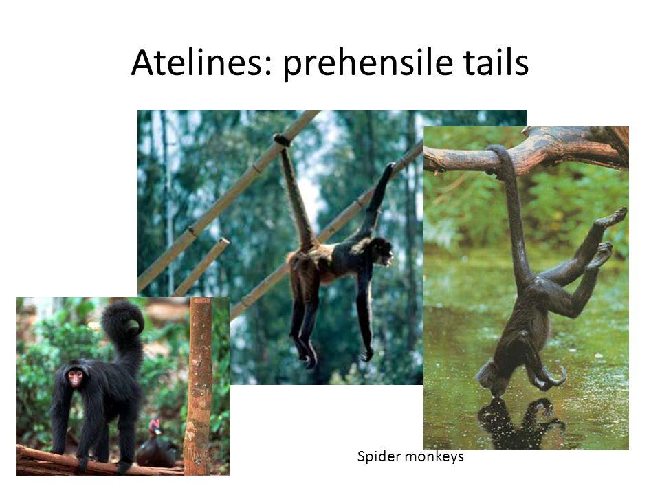 Atelines: prehensile tails Spider monkeys