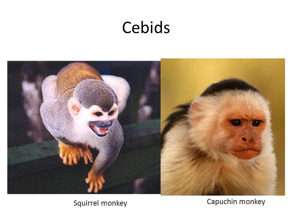 Cebids Squirrel monkey Capuchin monkey