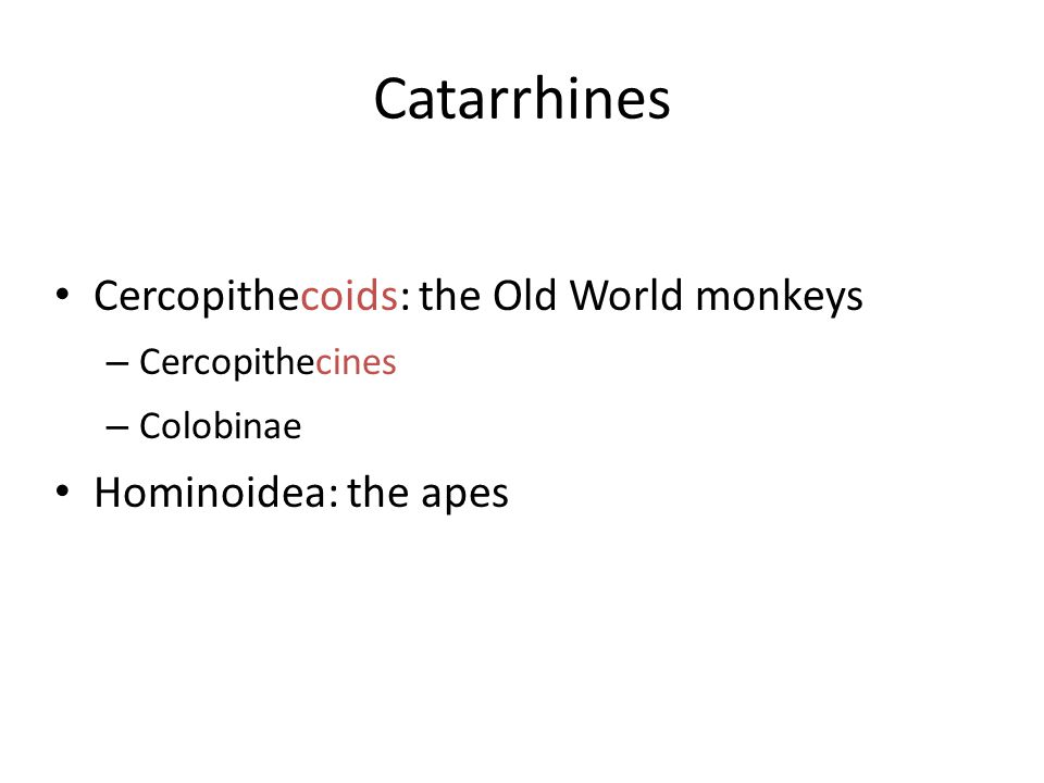 Catarrhines Cercopithecoids: the Old World monkeys – Cercopithecines – Colobinae Hominoidea: the apes